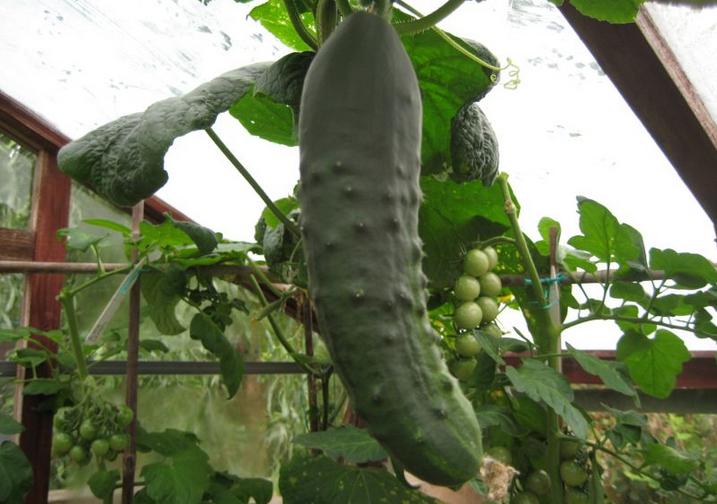 STD Cucumber